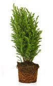Thuja in a pot — Stock Photo