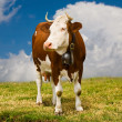 Brown cow — Stock Photo #1144915