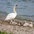 Swan and her chicks — Stock Photo