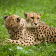 Постер, плакат: Two leopards