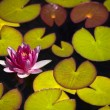 Water lilies Water lilies — Stock Photo