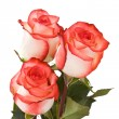 Three white-pink roses — Stock Photo