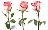 White-pink roses — Stock Photo