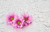 Pink flowers with water drops — Stock Photo