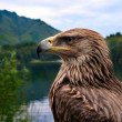 Royalty-Free Stock Photo: Eagle