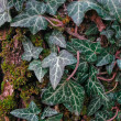 Stock Photo: Wild ivy