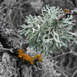Bush lichen — Stock Photo