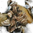 Stock Photo: Colony of freshwater mussels