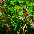 Female of a spider-tiger — Stock Photo