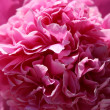 Royalty-Free Stock Photo: Peony