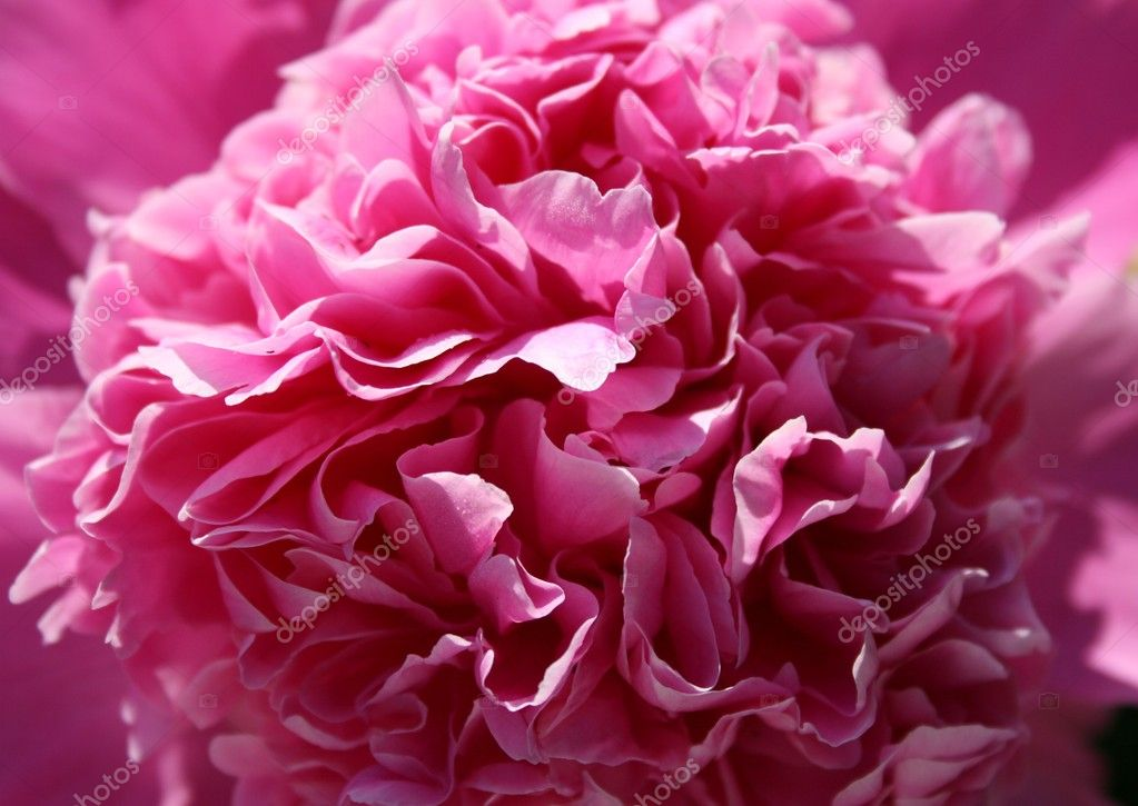 Petals of a flower bud peony. — Stock Photo #1038662