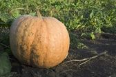 Pumpkin in the garden. — Stock Photo