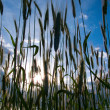 Stock Photo: Wheat Stalks