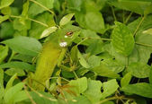 Variable Lizard In The Green Background — Stock Photo