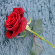 Red Rose in the Winter — Stock Photo