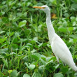 Stock Photo: White Egret