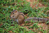 Palm Squirrel — Stock Photo