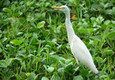 White Egret — Stock Photo