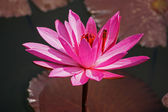 Lotus and dragonfly — Stock Photo