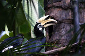 A hornbill by its nest — Stock Photo