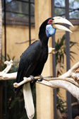 A hornbill bird - 1 — Stock Photo