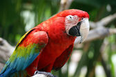 Closeup photo of parrot ara — Stock Photo