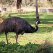 Royalty-Free Stock Photo: Emu