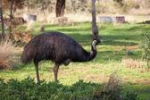 Emu — Stock Photo