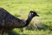 Portrait of emu — Stock Photo