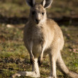 A baby-kangaroo — Stock Photo