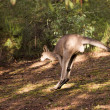 Hopping kangaroo - 3 — Stock Photo #1609269