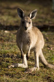 A baby-kangaroo — Stock Photo
