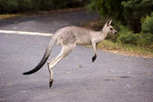 Hopping kangaroo - 2 — Stock Photo