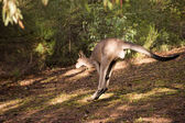 Hopping kangaroo - 3 — Stock Photo