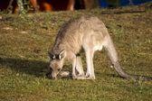 Eating kangaroo - 2 — Stock Photo