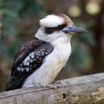 A photo of native Australian bird - kookaburra. — Stock Photo #1729180