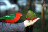 A couple of Australian king parrot — Stock Photo