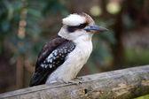 Kookaburra — Stock Photo