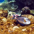 Stock Photo: Sohal surgeonfish