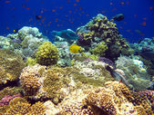 Tropical coral reef in Red sea — Stock Photo