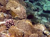Poisson jaune et corail — Photo