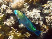 Rusty parrot fish — Stock Photo