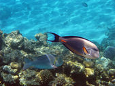 Sohal surgeonfish — Stock Photo