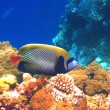 Emperor angelfish — Stock Photo #1118426