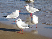 Seagulls — Stock fotografie