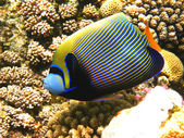 Emperor angelfish and coral reef — Stock Photo