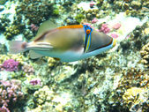 Picasso trigger fish — Stock Photo