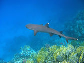 Whitetip reef shark and reef — Stock Photo