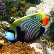 Emperor angelfish in Red sea - Stock Photo