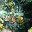 Coral reef and red lionfish — Stock Photo
